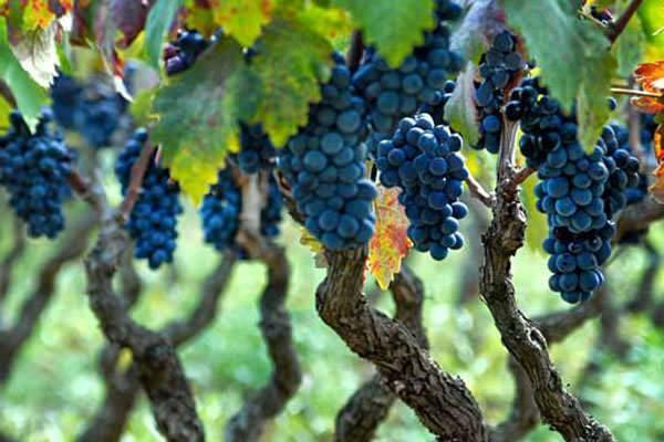vini dalle migliori vigne